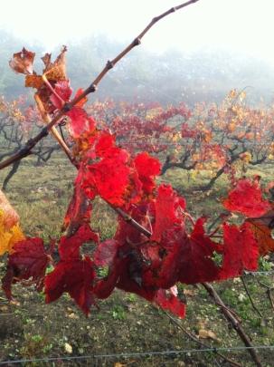 vignes en hiver