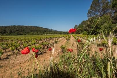 vignes et coquelicots